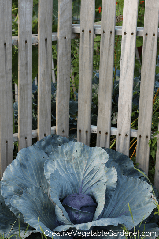purple vegetables to grow in the garden purple cabbage