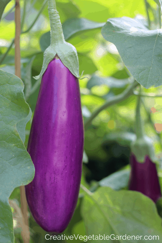 dancer eggplant purple garden vegetable