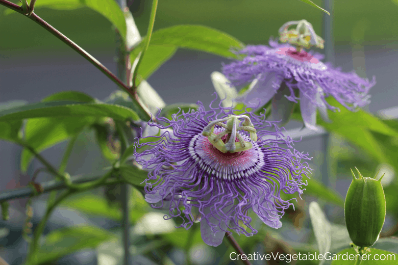 passionflower purple vegetables to grow