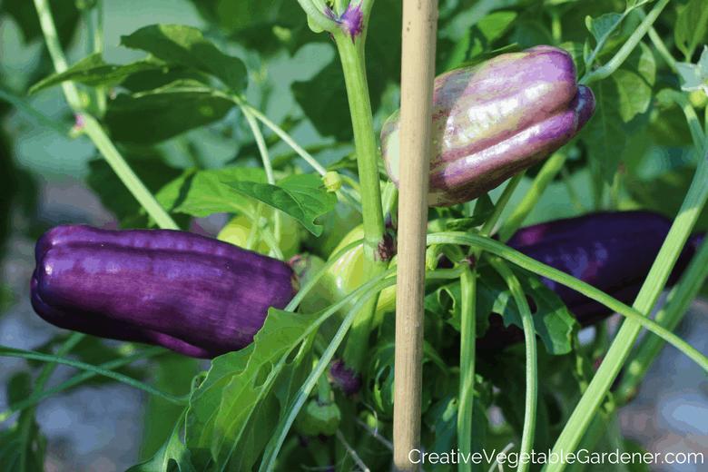 purple vegetables in the garden peppers