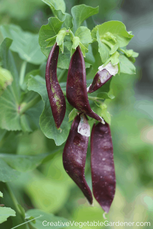 purple peas for the garden