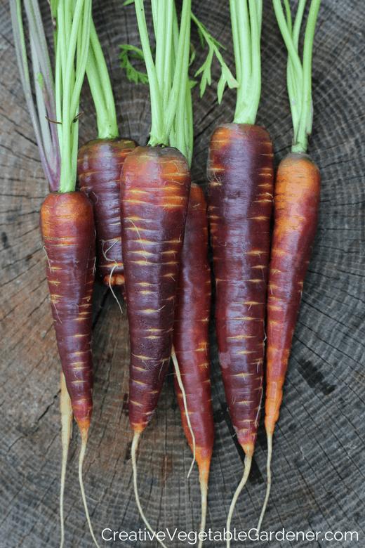 purple carrots to grow in your garden