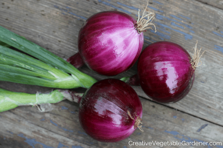 purple vegetables to grow in garden redwing onion