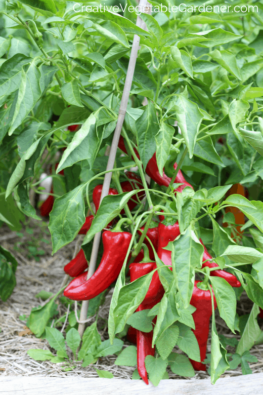 pepper plants with organic fertilizer