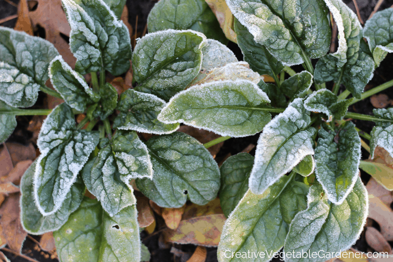 frost tolerant spinach from the garden