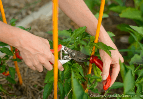gardener using tool to harvest peppers