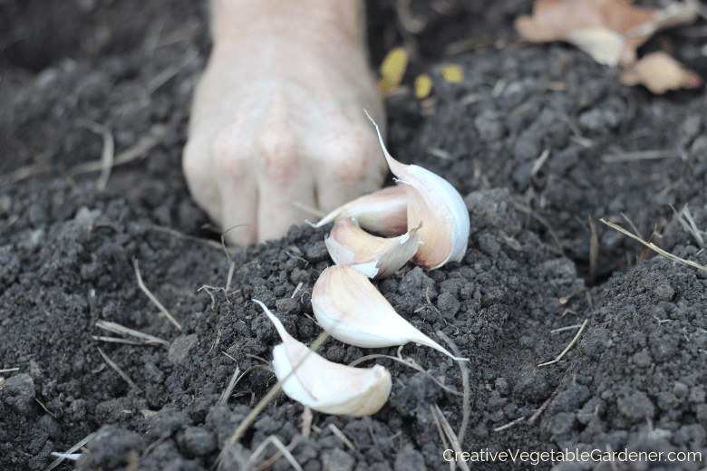 planting fall garlic in garden