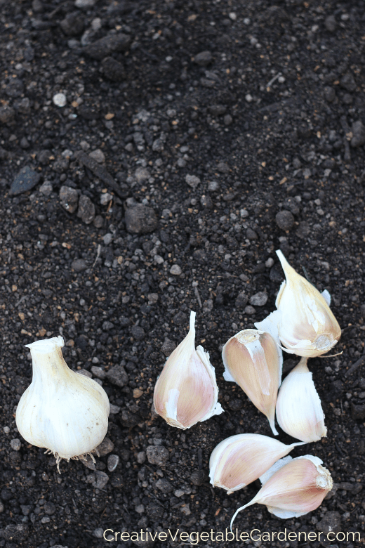 garlic planting in garden