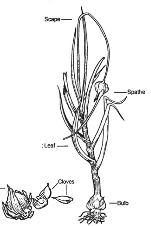 parts of garlic plant