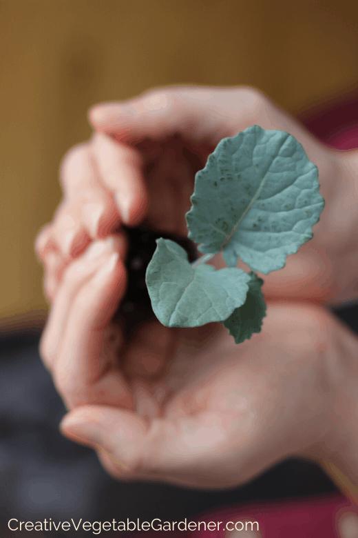 direct seed vs transplant