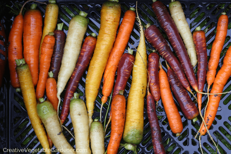 growing carrots in the garden