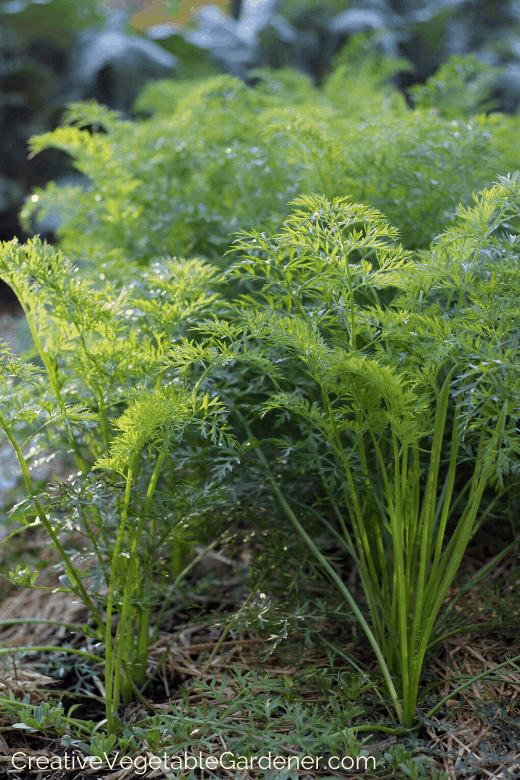 growing garden carrots