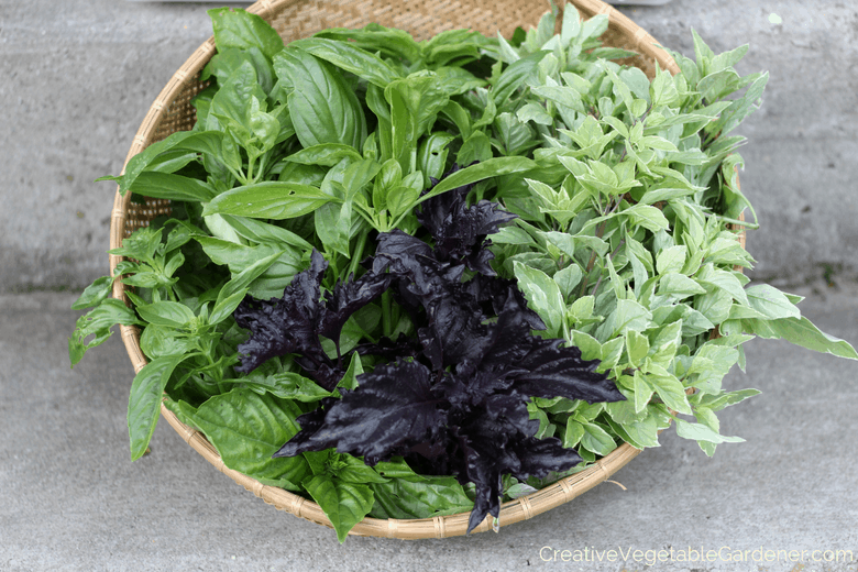 how to grow basil in the garden