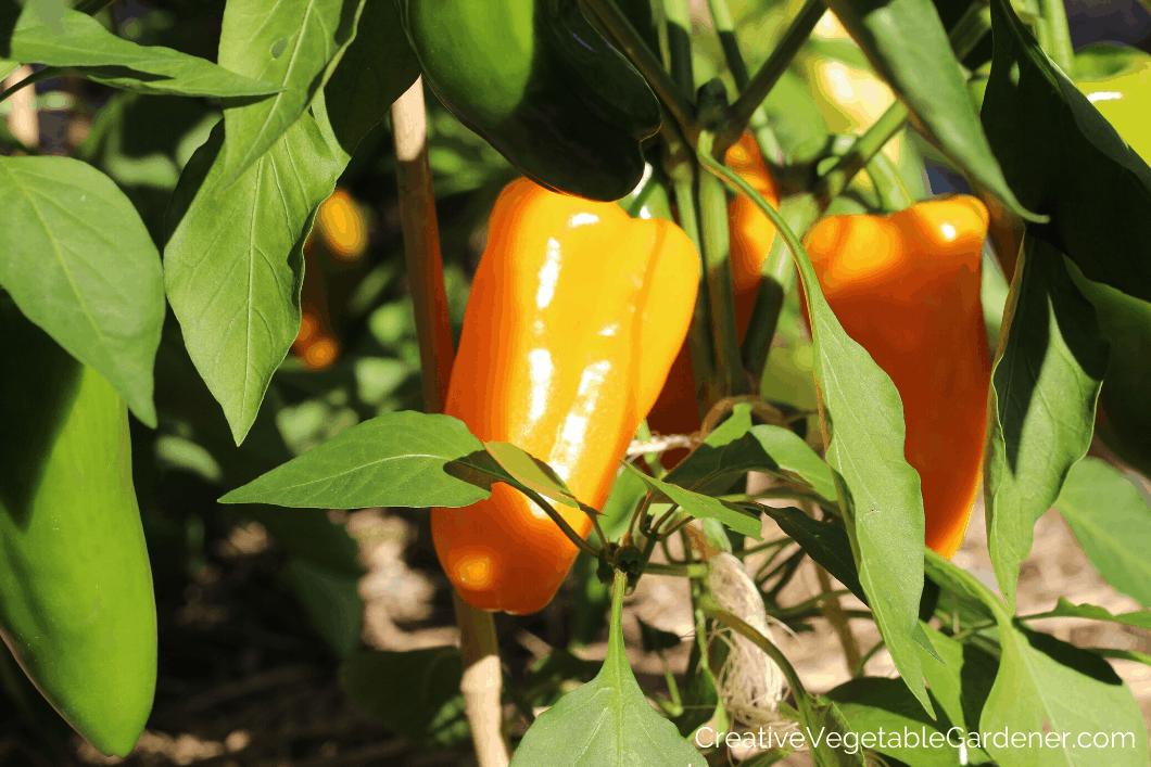 orange sweet peppers