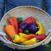 Essential Guide to Growing Sweet Peppers