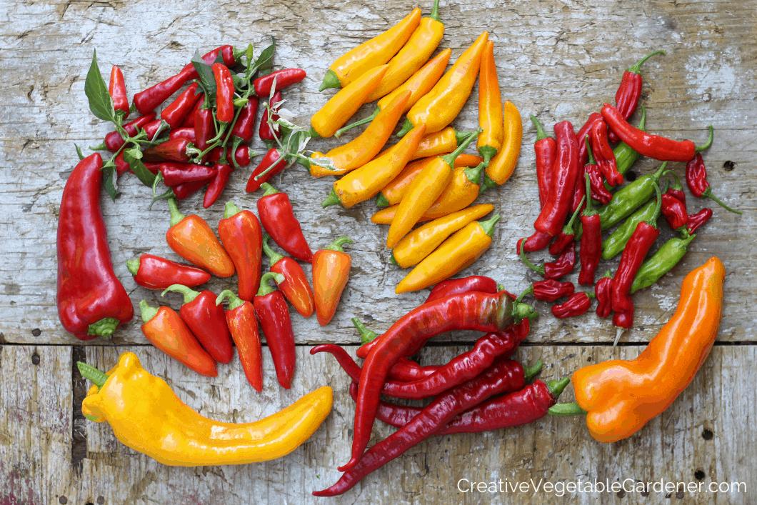 colorful pepper harvest