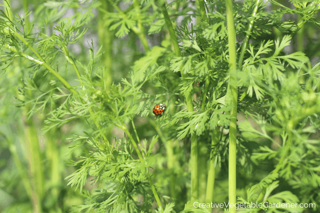 cilantro bolting in garden with insect