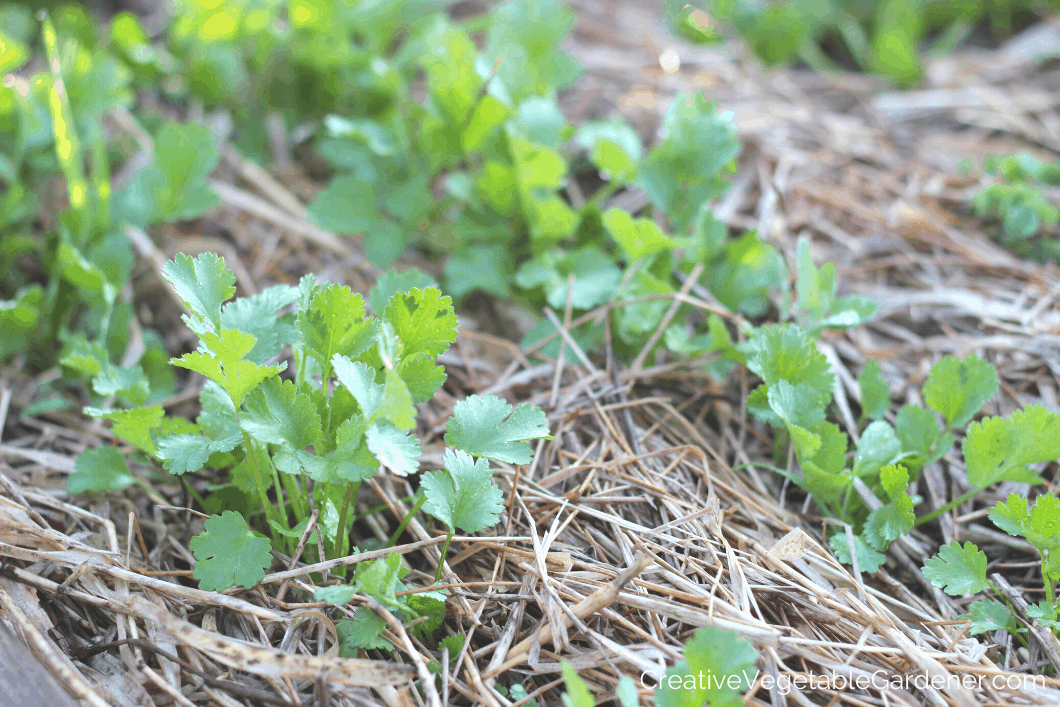 growing cilantro in garden bed