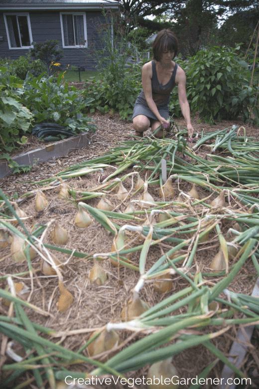 onion harvest time in garden