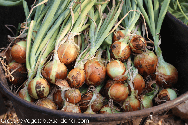wheelbarrow of onion harvest