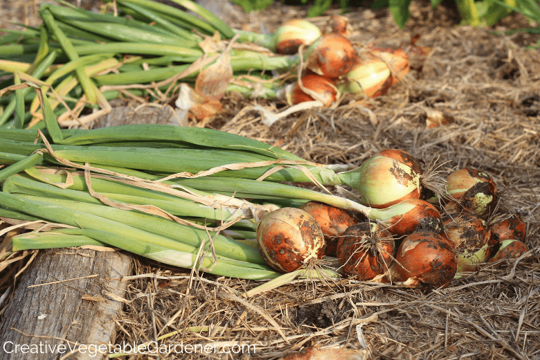 how to store homegrown onions