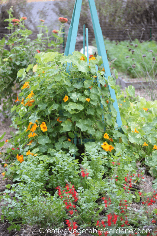 cilantro in garden bed with flowers and trellis