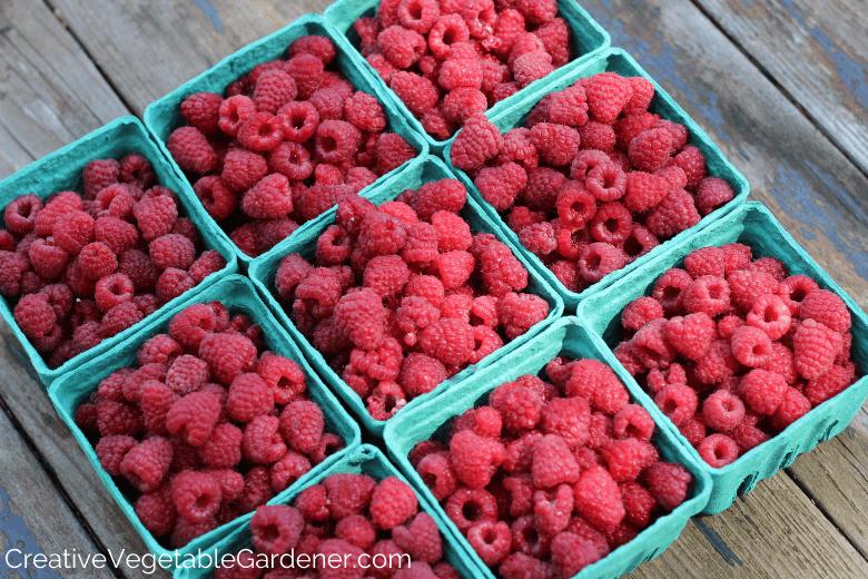 freshly harvested raspberries from garden