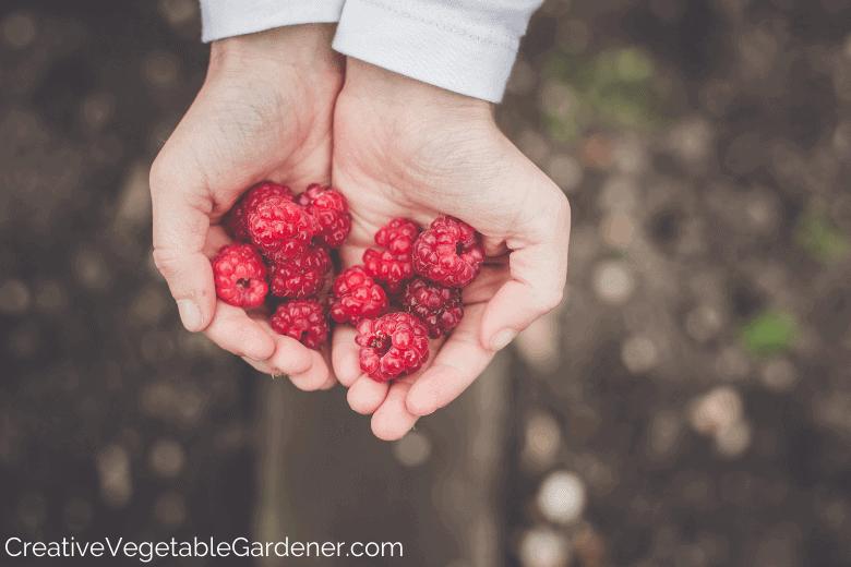 hands holding garden raspberries
