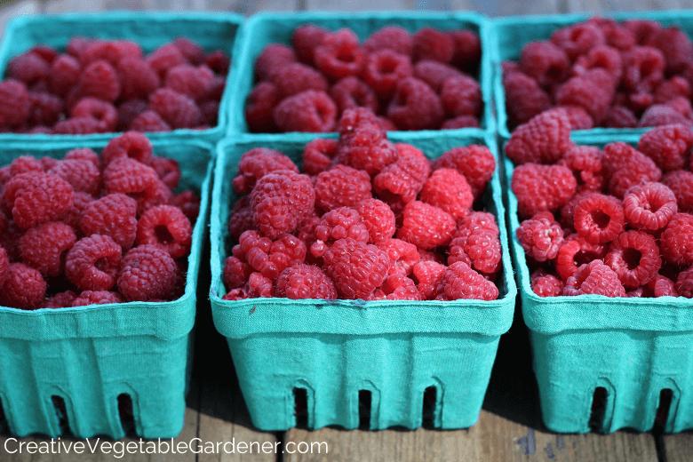 harvested raspberries from garden