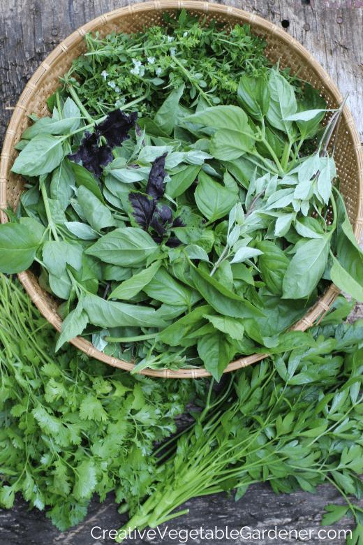 fresh herb harvest from garden
