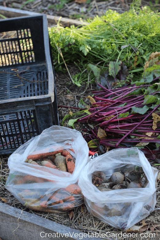 storing carrots for winter