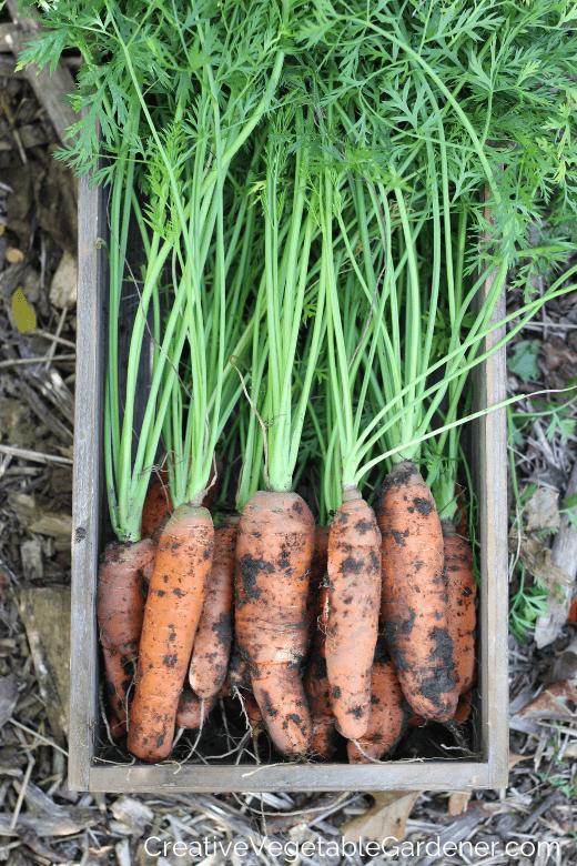 freshly dug carrots for winter storage