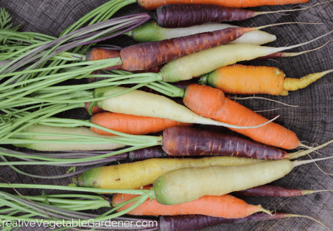 colorful carrots harvested from the garden