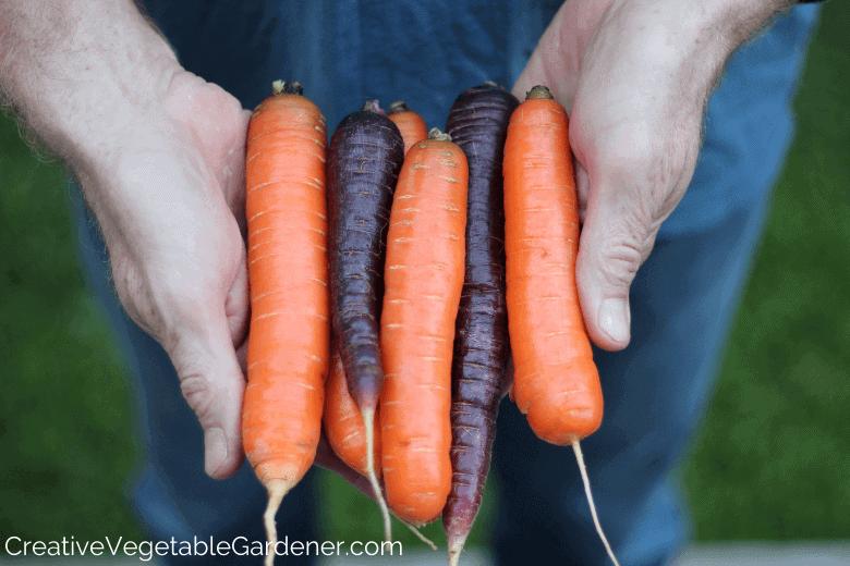 man holding fresh carrots from the garden