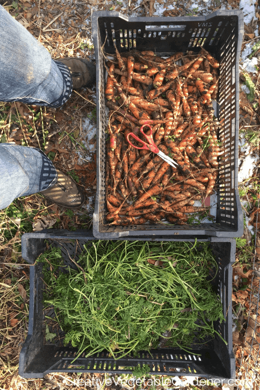preparing carrots to store for winter